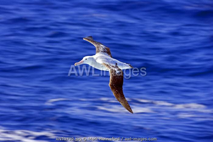 Antarctica, Antarctic Peninsula, a Royal Albatross (Diomedea epomophora) in flight over sunny seas