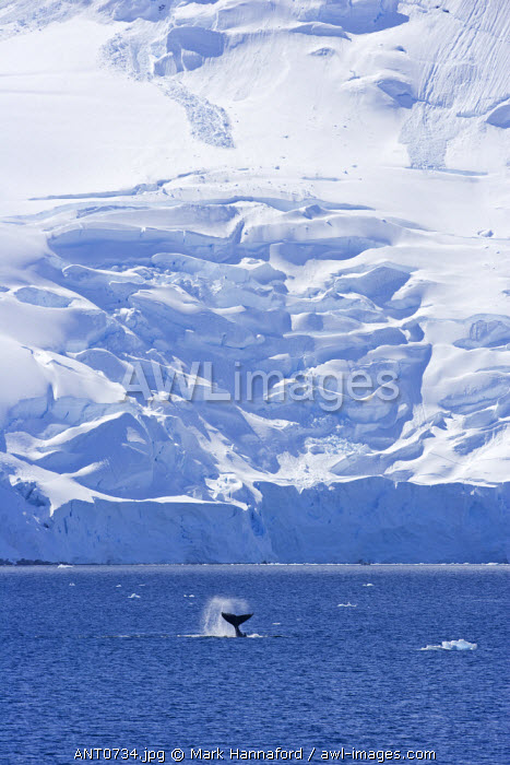 Antarctica, Antarctic Peninsula. Display behavoiur from a Humpback Whale (Megaptera novaeangliae) - tail slapping is used to communicate over short distances possibly to identify krill concentrations.