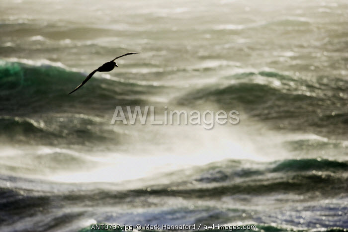 Antarctica, Drakes Passage.   Albatross sweeping gracefully across the stormy wind-blown waters of the Drakes Passage crossing from Antarctica to continental South America