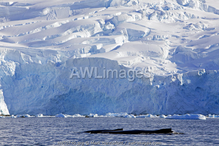 Antarctica, Antarctic Peninsula, Neko Harbour. A mother and calf humpback whale (Megaptera novaeangliae) cruise along the edge of a glacier snout in search of krill and small fish as they fatten themselves up during the south polar summer