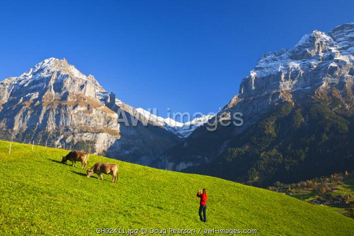 Woman Photographing Cows in Alpine Meadow, Wetterhorn & Grindelwald, Berner Oberland, Switzerland