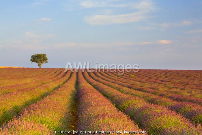 Lavender Field, Provence-Alpes-Cote d'Azur, France