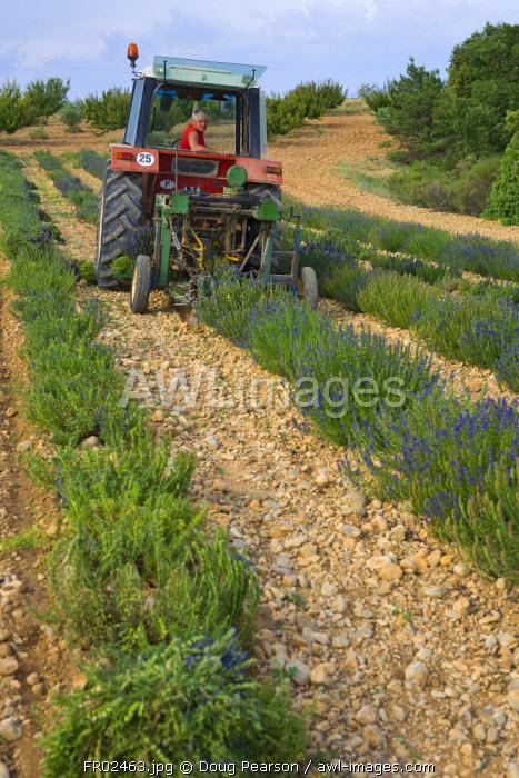 Organic Lavender Harvest, Provence-Alpes-Cote d'Azur, France