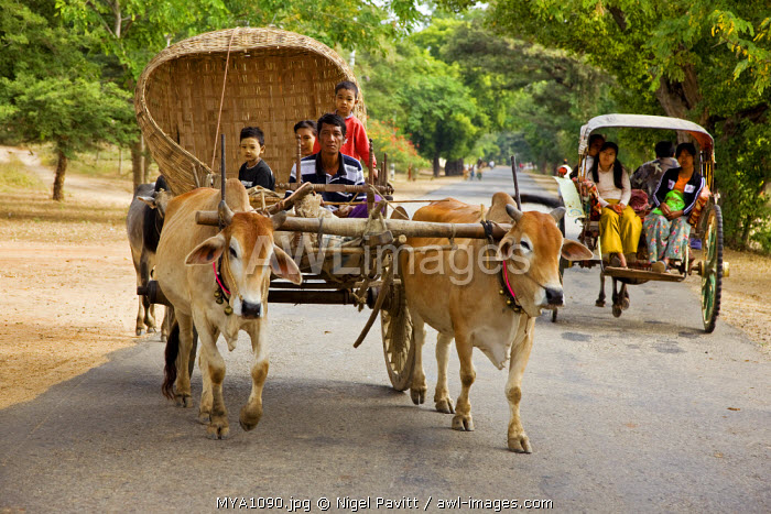 Myanmar. Burma. Bagan.  An ox-drawn farm cart passes a horse-drawn buggy on the road to Nyaung U market.