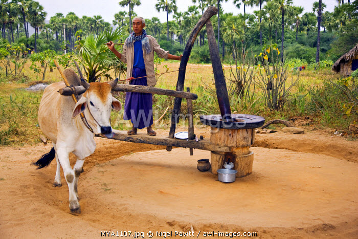 Myanmar. Burma. Bagan. Crushing sesame for oil extraction using a hard-wood grinder like a large pestle and mortar driven by an ox.