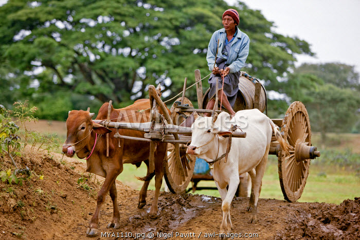 awl-images.com - Myanmar / Myanmar. Burma. Bagan. A Burmese man drives his ox cart to a dam to collect water in a locally made wooden barrel.