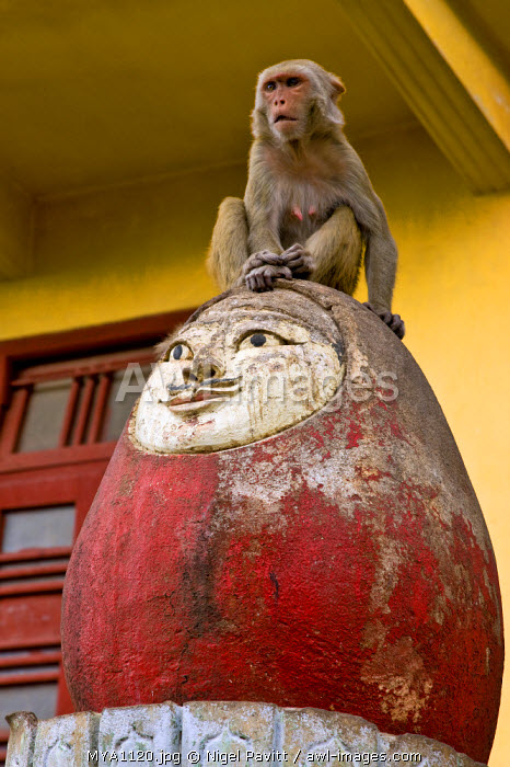 Myanmar. Burma. Popa. A monkey waits to be fed by passing pilgrims, perched on top of an ever-standing toy-like monument at the foot of Mount Popa.