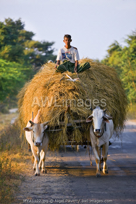 Myanmar. Burma. Bagan. A farmer takes home an ox-cart load of rice straw for his livestock .