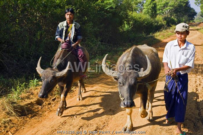 Myanmar. Burma. Bagan. Water buffalos being taken to rice paddies.