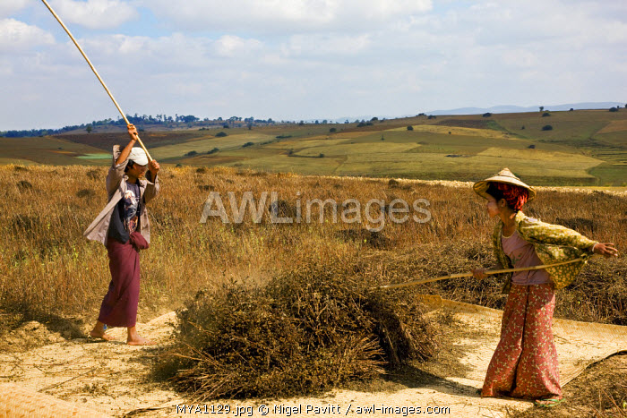 Myanmar. Burma. Pwehla. A farming couple thresh black sesame onto a bamboo mat in the field where the crop was harvested.
