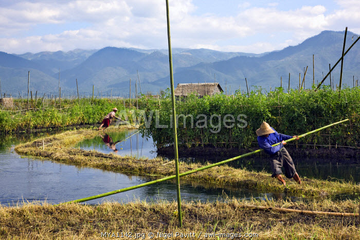 Myanmar. Burma. Lake Inle. Two Intha men move in place a long sod of fertile soil before staking it to extend a floating garden where vegetables and fruit will grow abundantly.