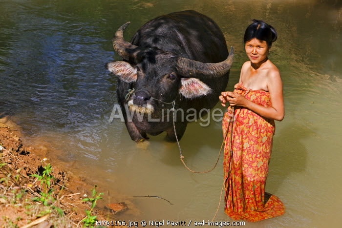 Myanmar, Burma, Lake Inle. A woman washes her favourite water buffalo in a stream at Indein.