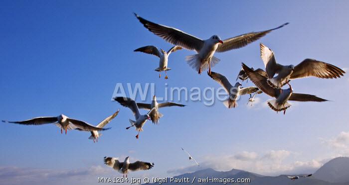 Myanmar, Burma, Lake Inle. Seagulls flying over Lake Inle.
