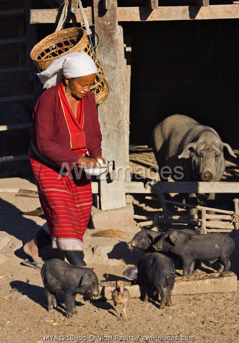Myanmar. Burma. Wanpauk village. A Palaung woman of the Tibetan-Myanmar group of tribes feeds her pigs at Wanpauk village.