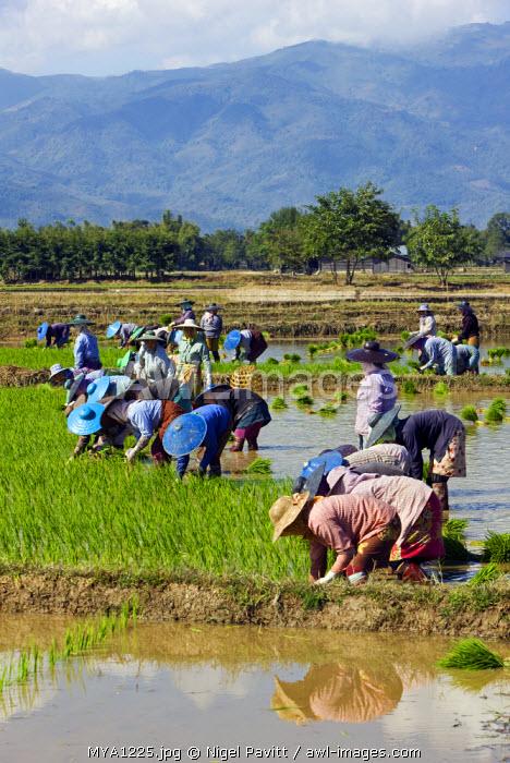 Myanmar, Burma, Kengtung. Women planting rice in paddies.