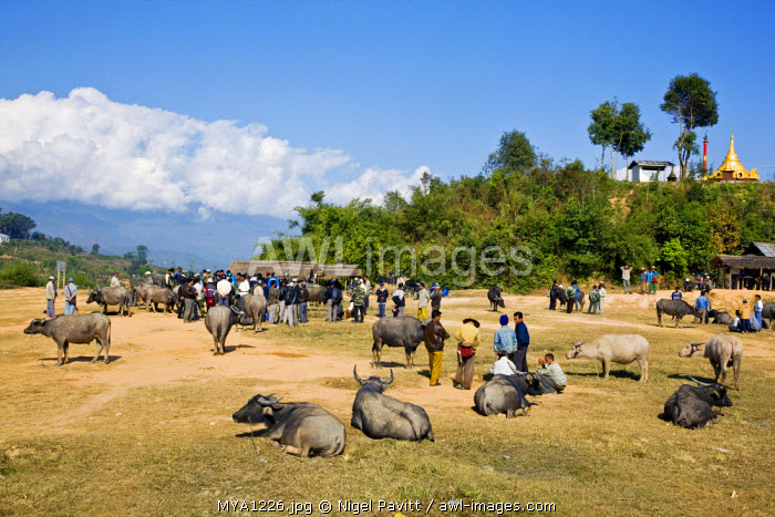 Myanmar, Burma, Kengtung. The twice-weekly water buffalo market on the outskirts of Kengtung.