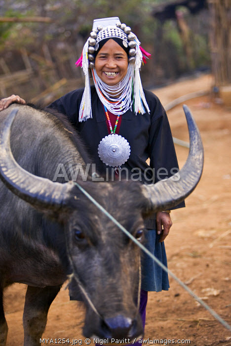 Myanmar, Burma, Namu-op. A happy Akha woman stands beside her favourite water buffalo wearing traditional costume with a headdress of silver and glass beads.