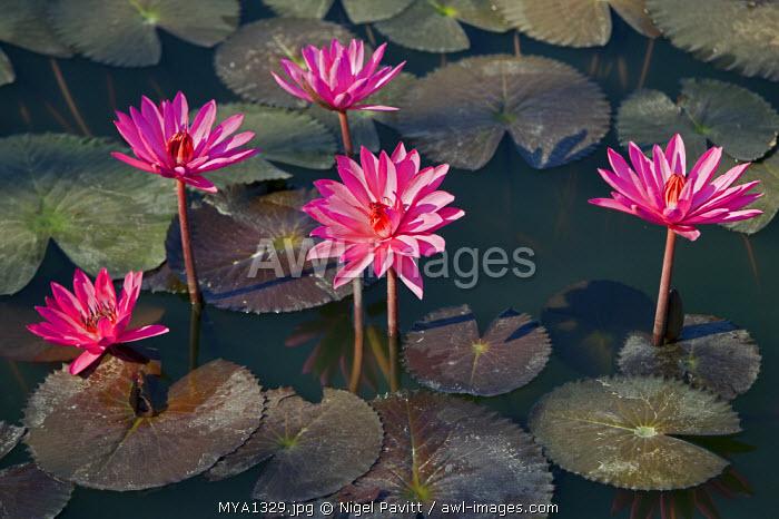 Myanmar, Burma, Sittwe. Beautiful lotus flowers bloom in a rainwater pond on the outskirts of Sittwe.