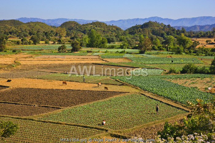 Myanmar, Burma, Mrauk U. Farmers tend neat vegetable patches in the rich farming country outside Mrauk U. The Chin Hills rise in the distance.