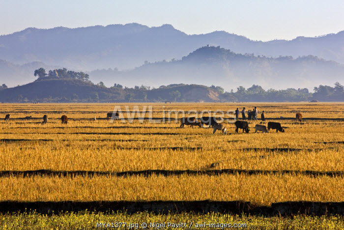 Myanmar, Burma, Mrauk U. Bright yellow fields of rice stubble contrast with a series of misty blue mountain ridges between Mrauk U and the Lay Myo River.