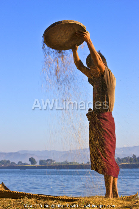 awl-images.com - Myanmar / Myanmar, Burma, Lay Mro River. A Rakhine farmer winnows rice to remove the chaff on the banks of the Lay Myo River.