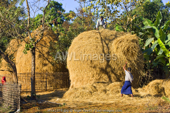 Myanmar, Burma, Lay Mro River. Rakhine farmers build haystacks with rice straw along the banks of the Lay Myo River.