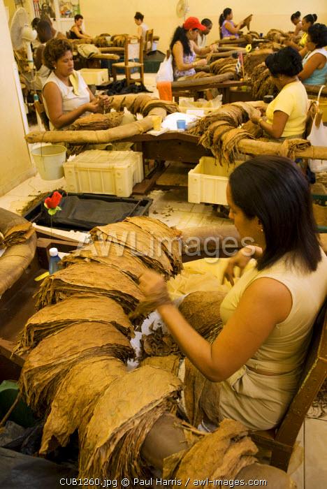 Cuba, Havana. Grading tobacco leaves, The H. Upmann Cigar Factory, Havana, Cuba