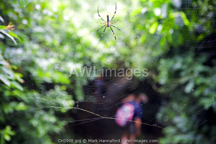 China, Hong Kong, Lantau Island.   Walking the Lantua Trail is surprisingly rich in natural variety and trekkers are always on the look out for large spiders webs across the trail.