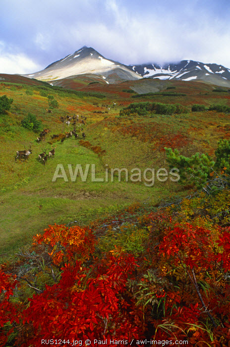 Russia, Kamchakta. Reindeer in the autumn tundra, Kamchatka, Russian Far East