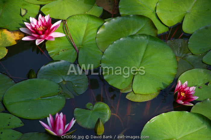China, Beijing. Waterlilies in the Summer Palace in Beijing, China