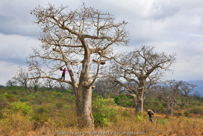 awl-images.com - Kenya / Kenya, Kibwezi. A man carries a traditional beehive to his friend for hanging in a large baobab tree.