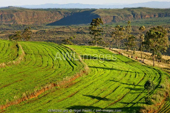 awl-images.com - Kenya / Kenya, Nakuru District. Fields of lucerne grown on the edge of the impressive Menengai Crater, one of the largest calderas in the world covering an area of 90 sq. km.