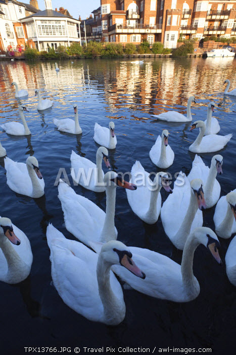 England, Berkshire, Eton, Swans on the River Thames