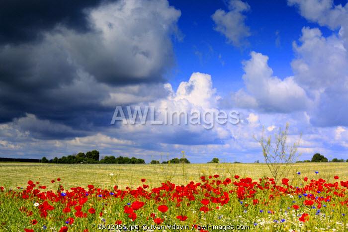Red poppies field, near Vladimir-Volynsky, Volyn oblast, Ukraine