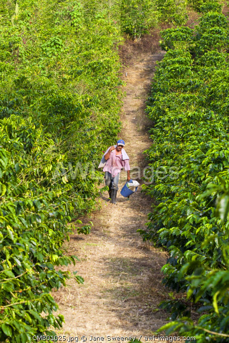 Colombia, Caldas, Manizales, Chinchina, Hacienda de Guayabal, Coffee pickers returning to Hacienda with sacks of coffee beans which will be weighed to determine their daily wage