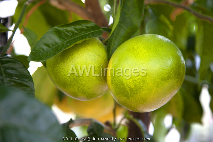 Grapefruit growing on a tree