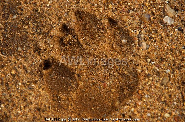South Africa, Mpumalanga, Timbavati Game Reserve.  The footprint of a hyena left in the sand.