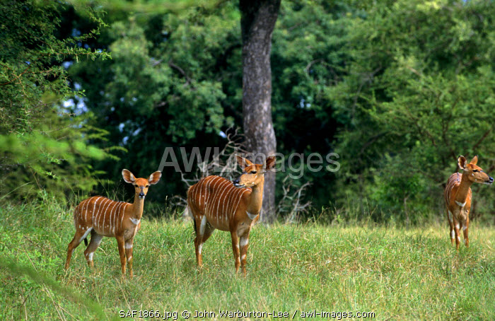 South Africa, Mpumalanga, Sabi Sands Game Reserve. Nyala females.