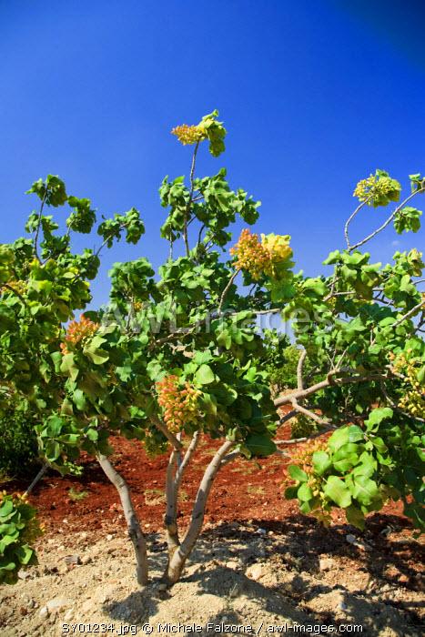 Syria, Hama, Syrian Pistachio Plantation (Pistacia vera)