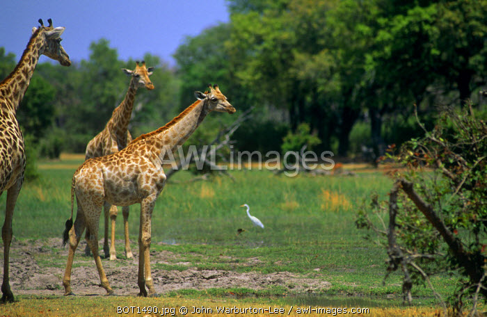 Botswana, Okavango Delta, Moremi Game Reserve.  A group of giraffe.