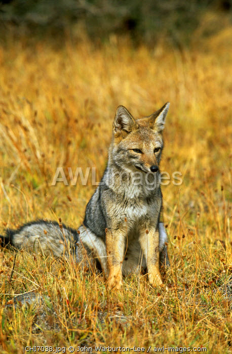 Chile, Patagonia, Torres del Paine National Park.  An Andean fox sits in the grass.