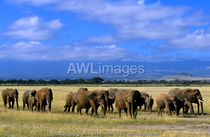 Kenya, Amboseli National Park.  One of Amboseli's many herds of elephants