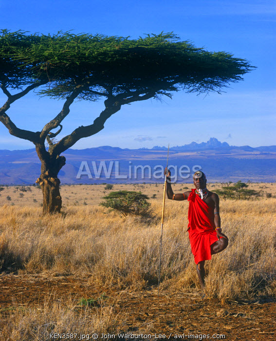 Kenya, Laikipia, Lewa Downs.  A Laikipiak Maasai warrior standing on one leg in front of a flat topped acacia with Mount Kenya behind.