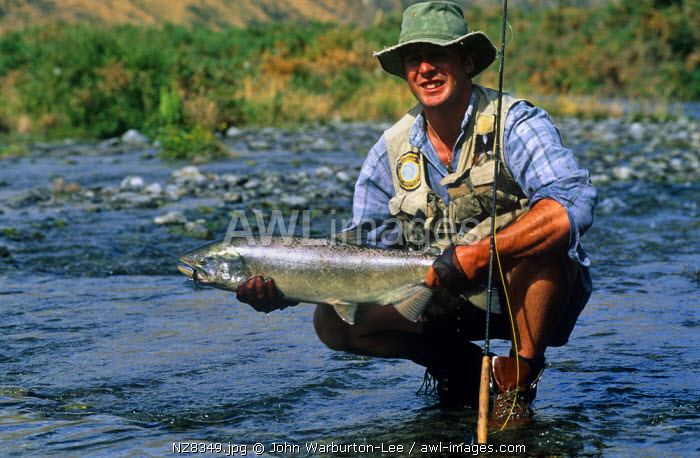 New Zealand, South Island.  A fly fisherman with a 12 lb salmon ready for release back into the Waimakariri River.