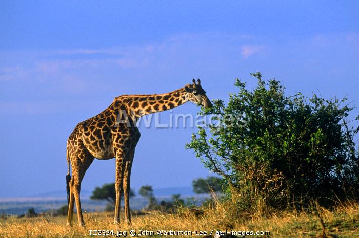 Tanzania, Serengeti National Park.  Masai giraffe browse.