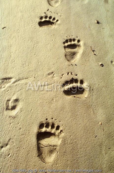 USA, Alaska, Yukon flats.  Grizzly bear paw prints measuring 12 inches long cross the sand.