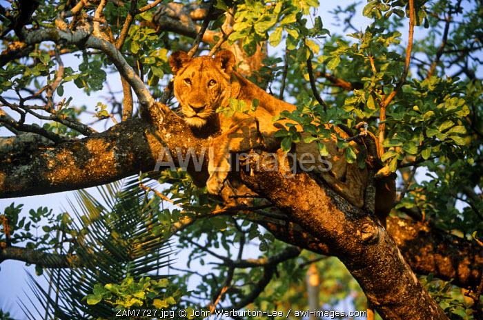Zambia, Kafue National Park, Busanga Plains. Lion.