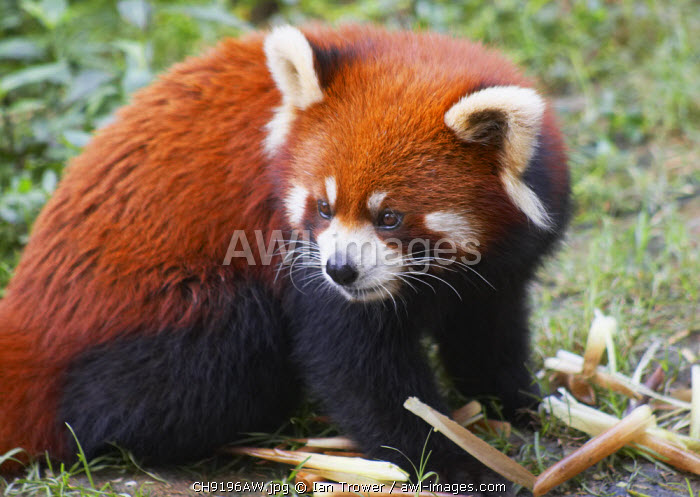 Red panda at Giant Panda Breeding Research Base, Chengdu, Sichuan, China