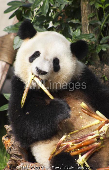 Giant panda at Giant Panda Breeding Research Base, Chengdu, Sichuan, China