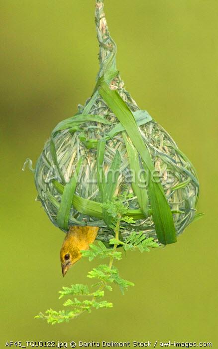 Weaver Nest,  East Tanzania, Lake Manyara National Park